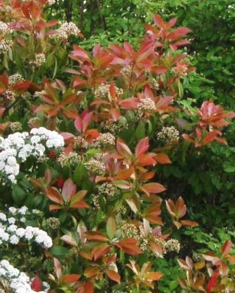 Arbustes de haie qui gardent la feuille l'hiver
