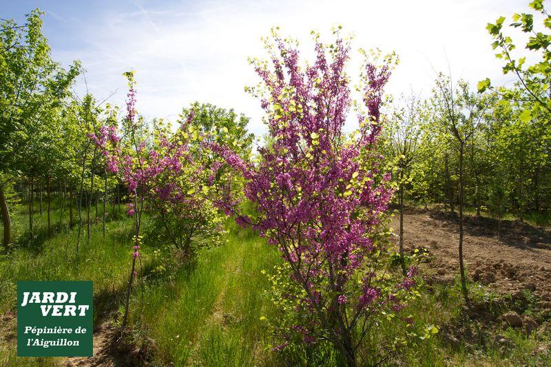 Arbre de Judée, en fleur en avril