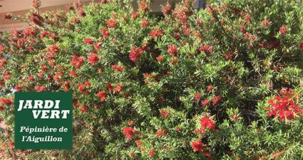 Callistemon ou rince bouteilles en fleurs en Juin