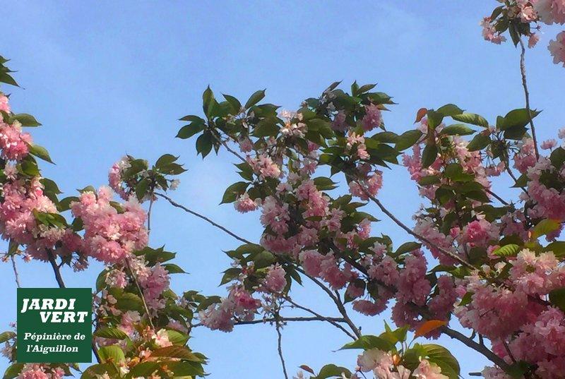 Cerisier à fleurs, en fleurs en Avril