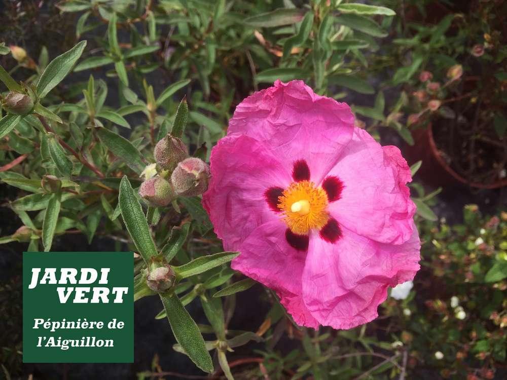 Ciste en fleur en Avril