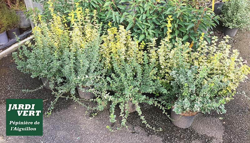Les euonymus - Des arbustes rustiques aux couleurs flamboyantes - Pépinière de l'Aiguillon 31