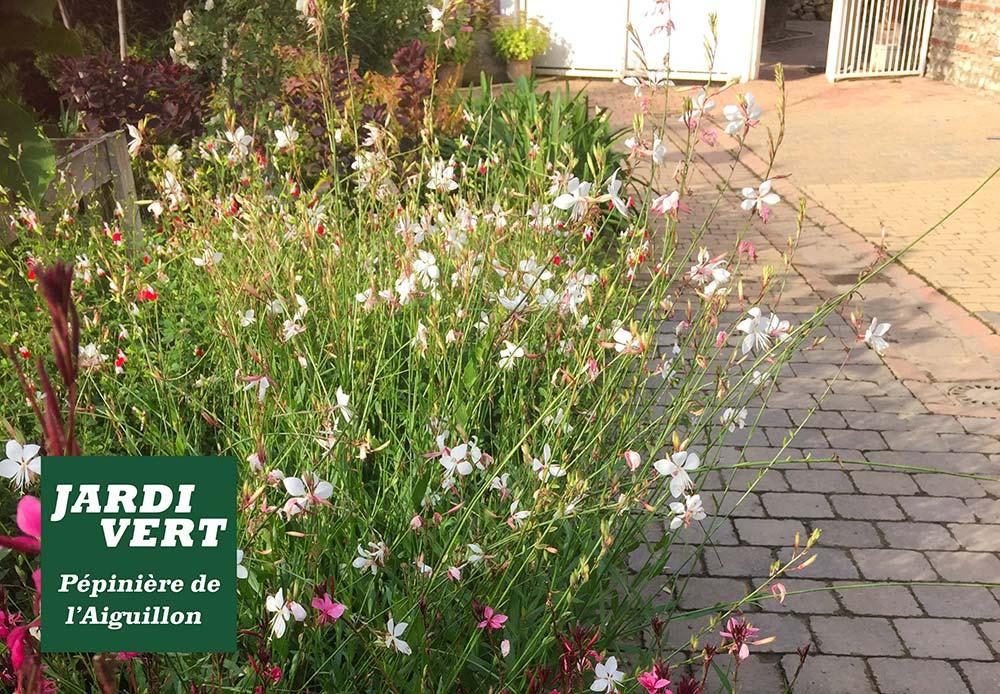 Gauras blanc pour jardins anglais - Pépinière de l'Aiguillon près de Muret