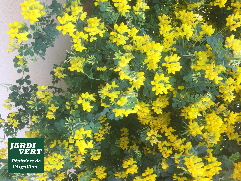 Genêt en fleurs en Avril