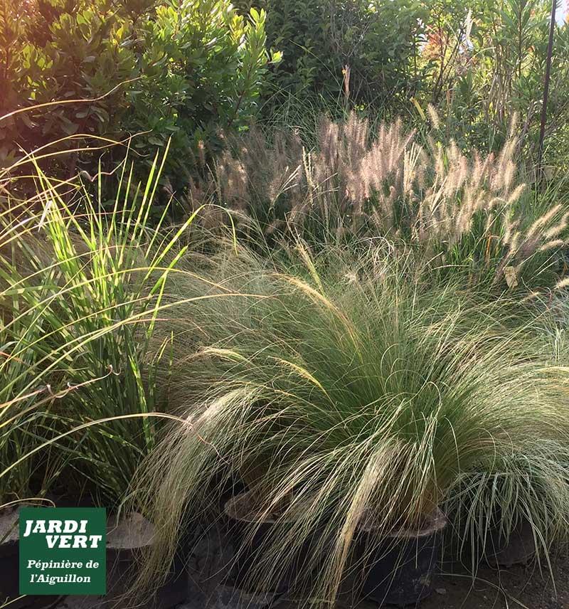 Graminées rustiques pour un jardin au naturel -  Pépinière de l'Aiguillon 31