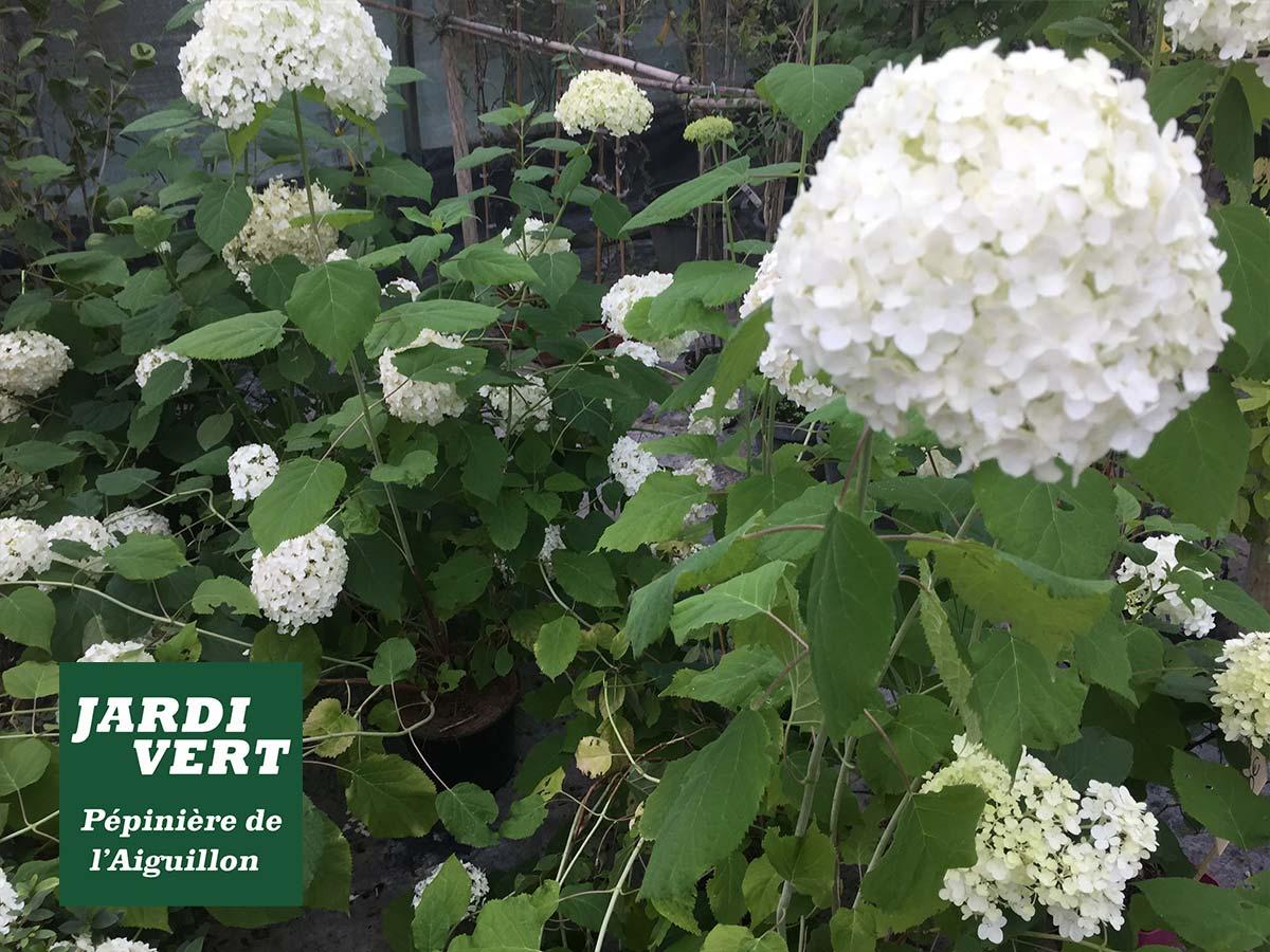 Vente d'hortensia et hydrangea - Jardinerie de l'Aiguillon 31