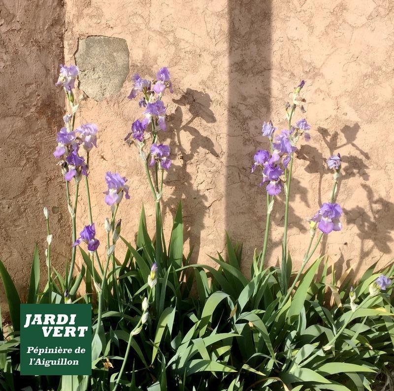 Iris en fleurs en Avril