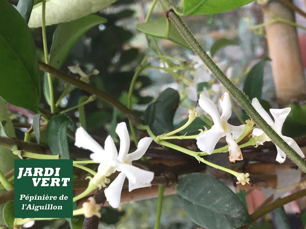 Le trachelospermum ou faux jasmin, une grimpante persistante, fleuri et parfumée !