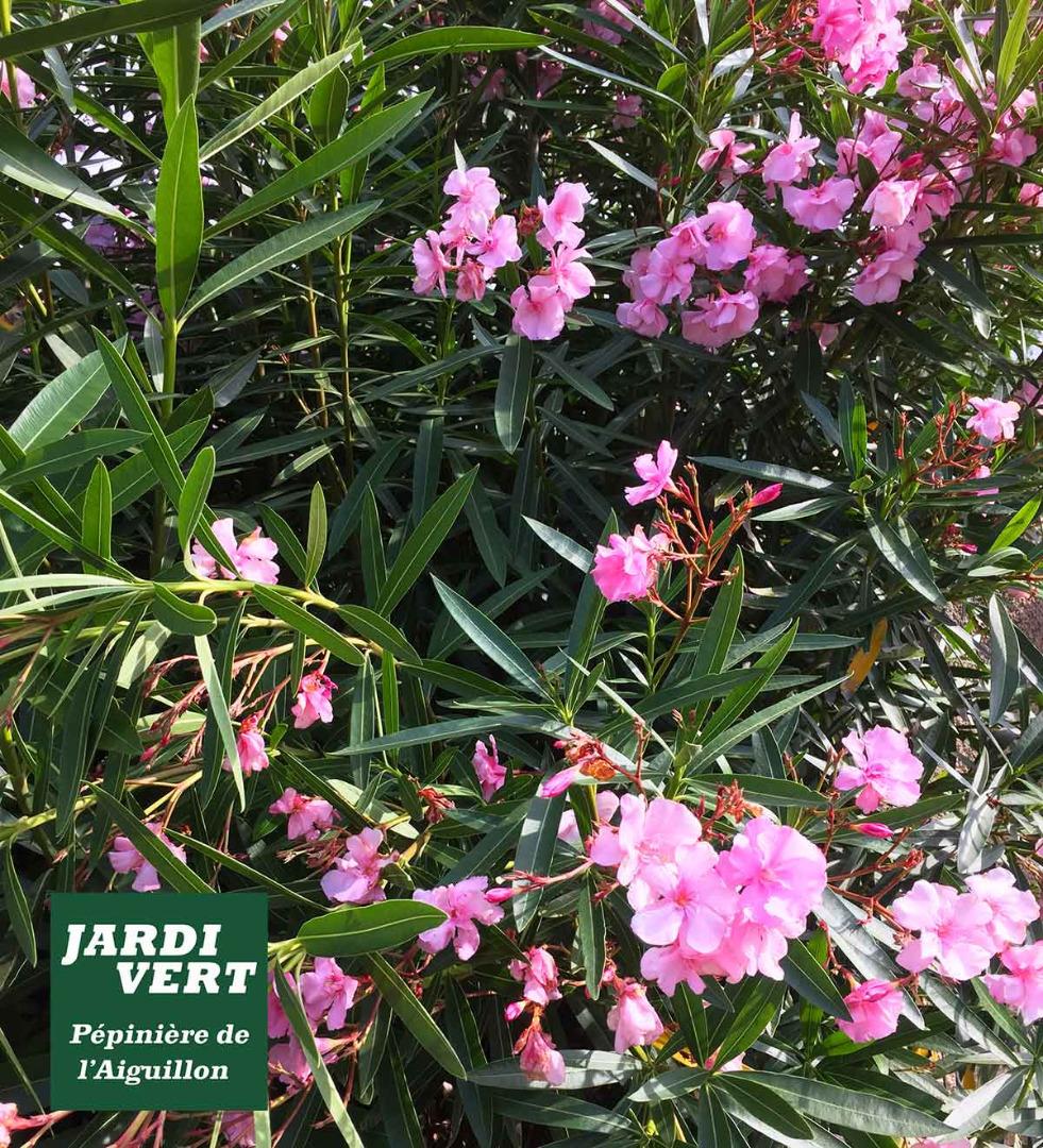 Planter des laurier rose en été au bord de la piscine ou de la terrasse - Jardinerie de l'Aiguillon Frouzins