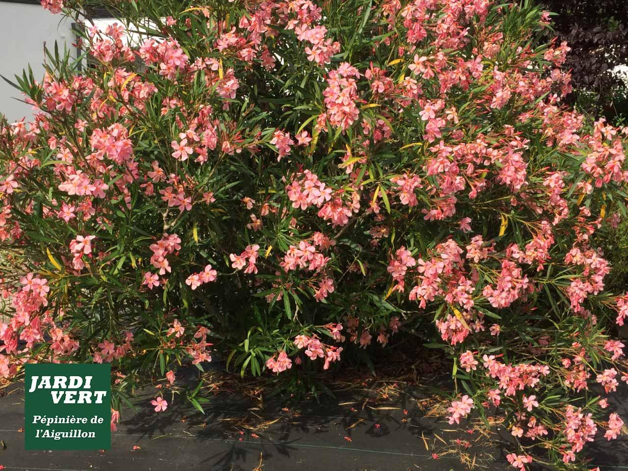 Planter un laurier rose saumon - Pépinière de l'Aiguillon Toulouse