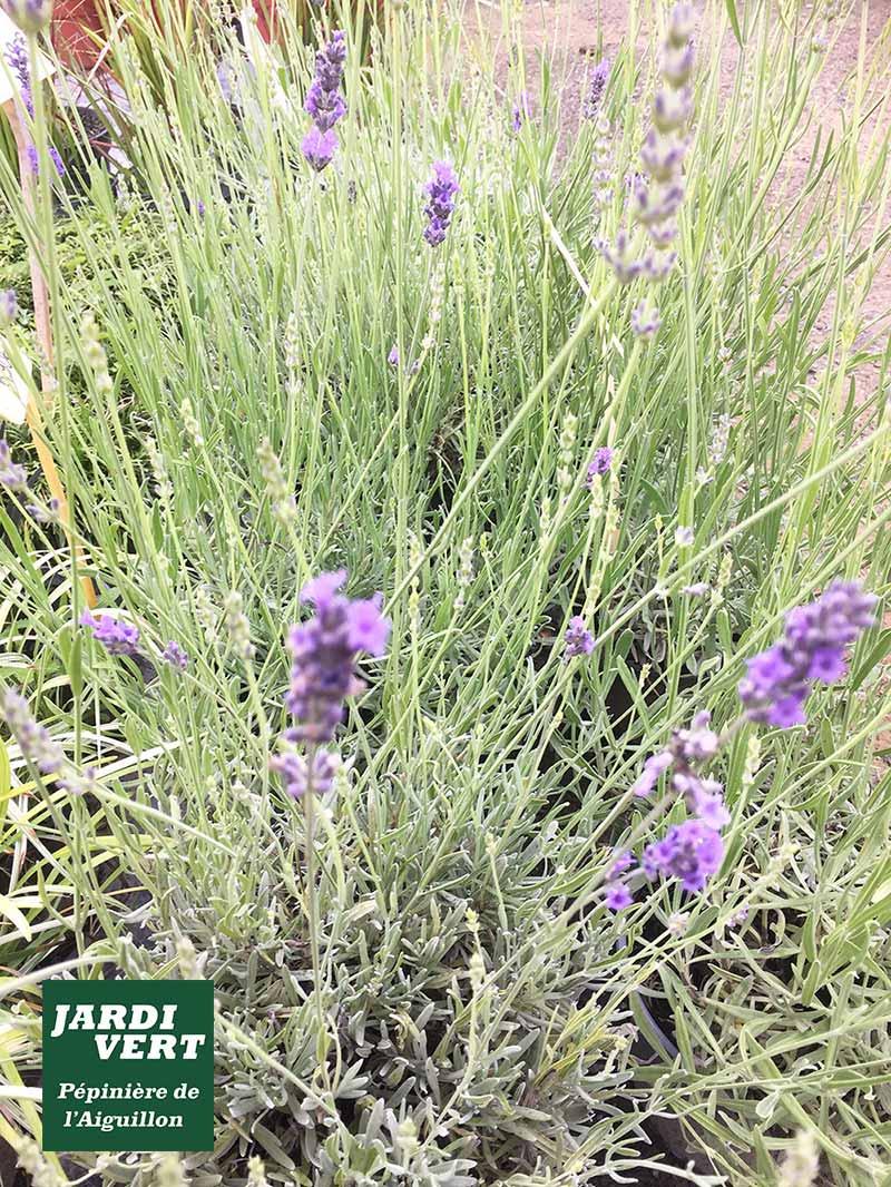 La lavande, plante mellifère parfumée et fleurie - Jardinerie de l'Aiguillon 31