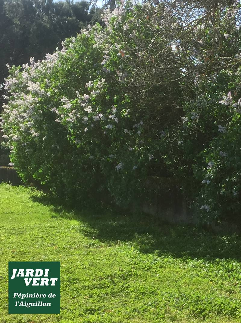 Lilas en fleurs en Avril