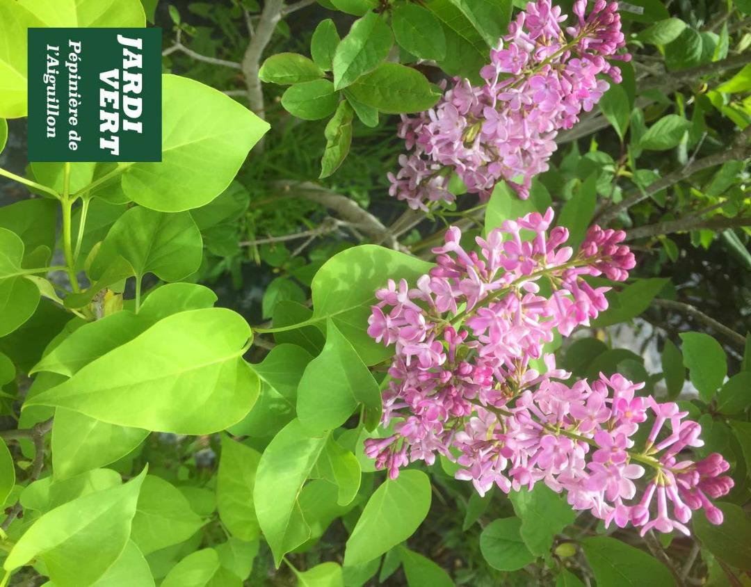 Vente de lilas violet et blanc, simple et double, parfumés - Pépinière de l'Aiguillon Haute-Garonne