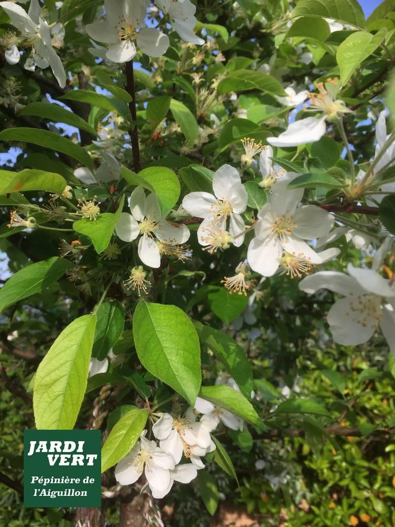 Pommier à fleur, en fleurs en Avril