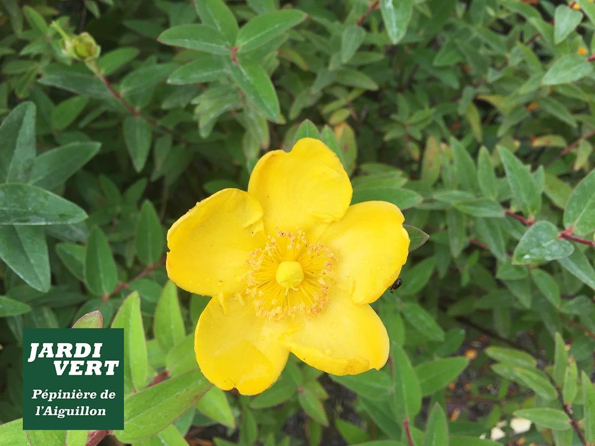 Millepertuis en fleurs en Juin - Le couvre-sol facile