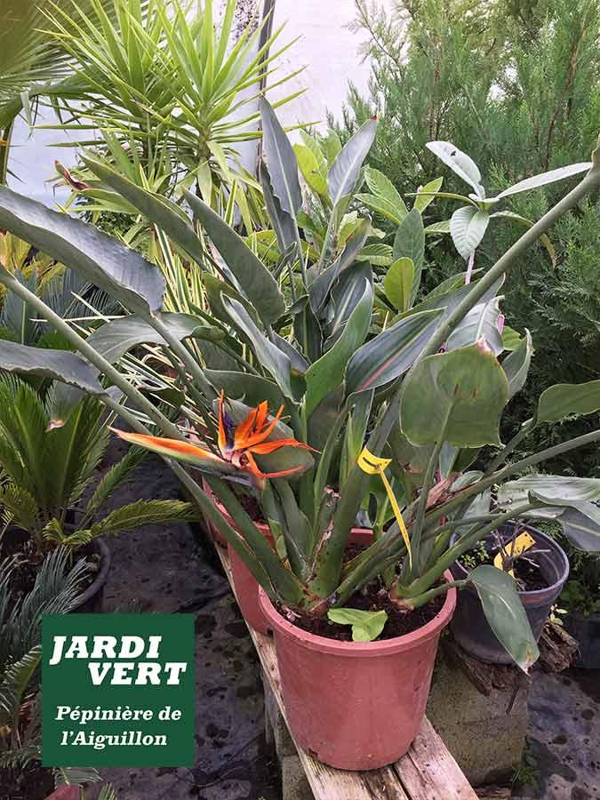 Vente d'oiseaux de paradis et autres plantes fleuries méditerraneennes - Pépinière de l'Aiguillon Toulouse