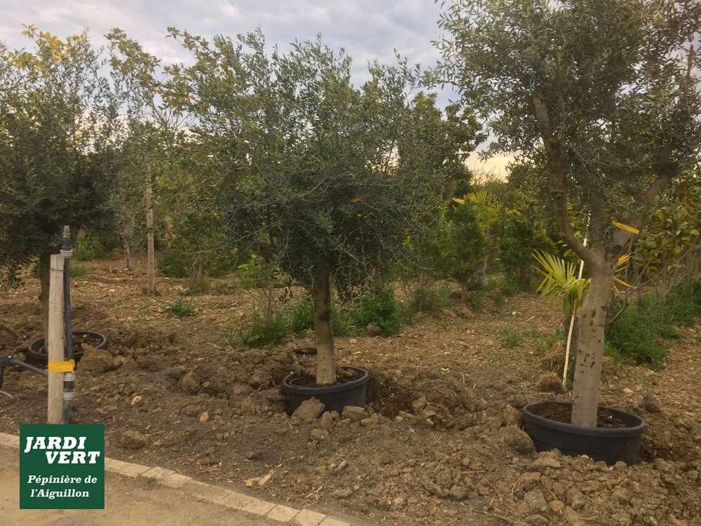 L'olivier un arbre avec une croissance modérée et avec peu de racines !