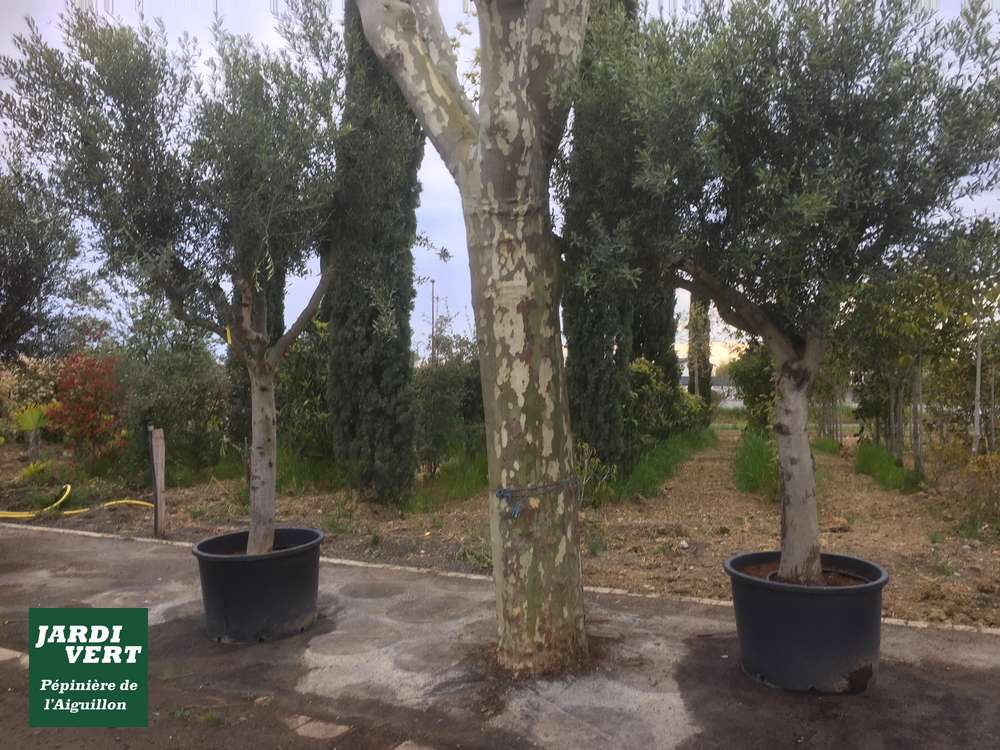 Planter un olivier pour faire de l'ombre près de Toulouse