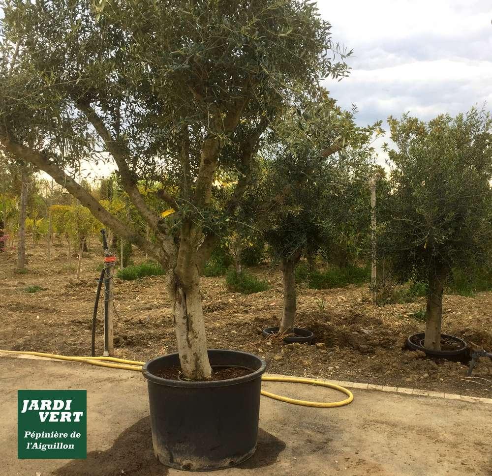 Acheter un bel olivier à Toulouse - Pépinière de l'Aiguillon