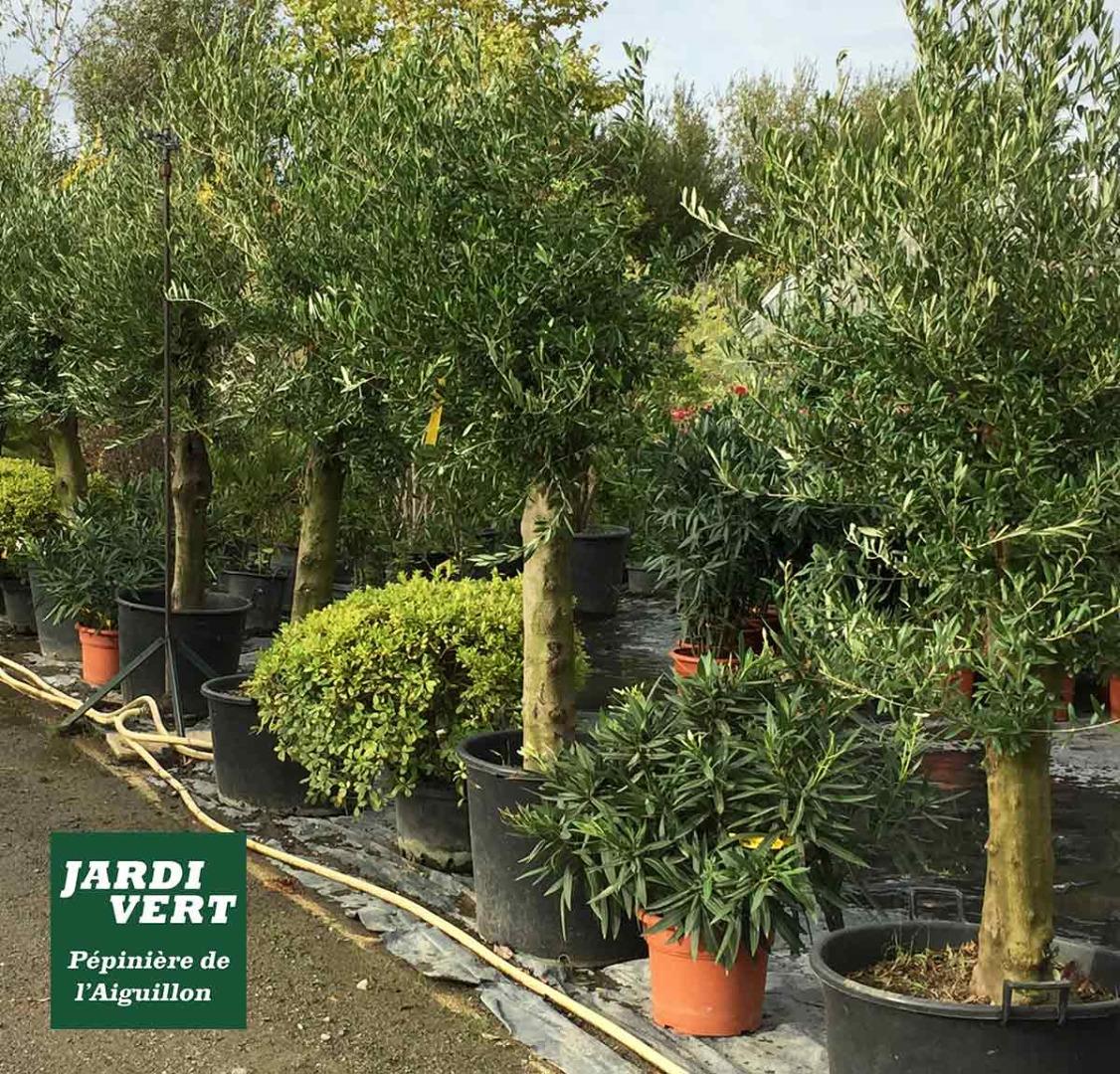 Vente d'oliviers à petits prix - Pépinière de l'Aiguillon Haute-Garonne Gers Ariège