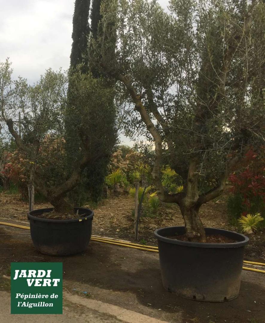 Vente d'oliviers ou olea europea à Toulouse