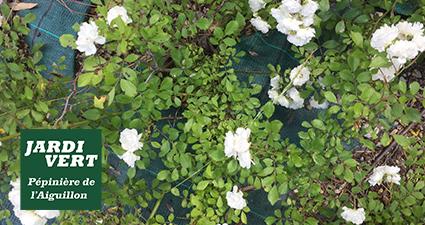 Rosier couvre-sols en fleurs en Juin