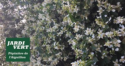 Seringat parfumé en fleurs en Juin