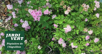 Spirée 'Little Princess' en fleurs en Juin
