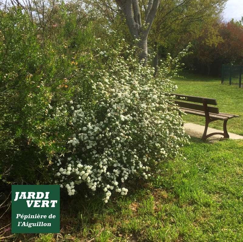 Spirée Van Houtten en fleurs en Avril