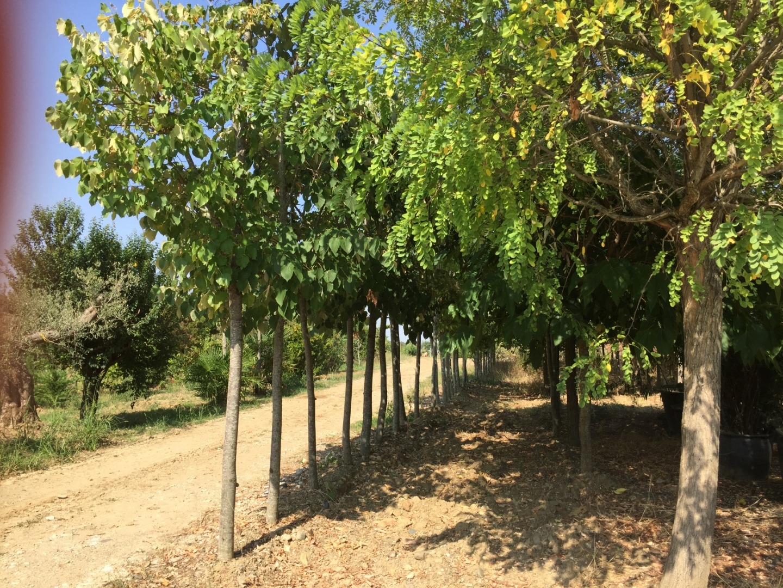 Jardi Vert : vente d'arbres adultes à toulouse