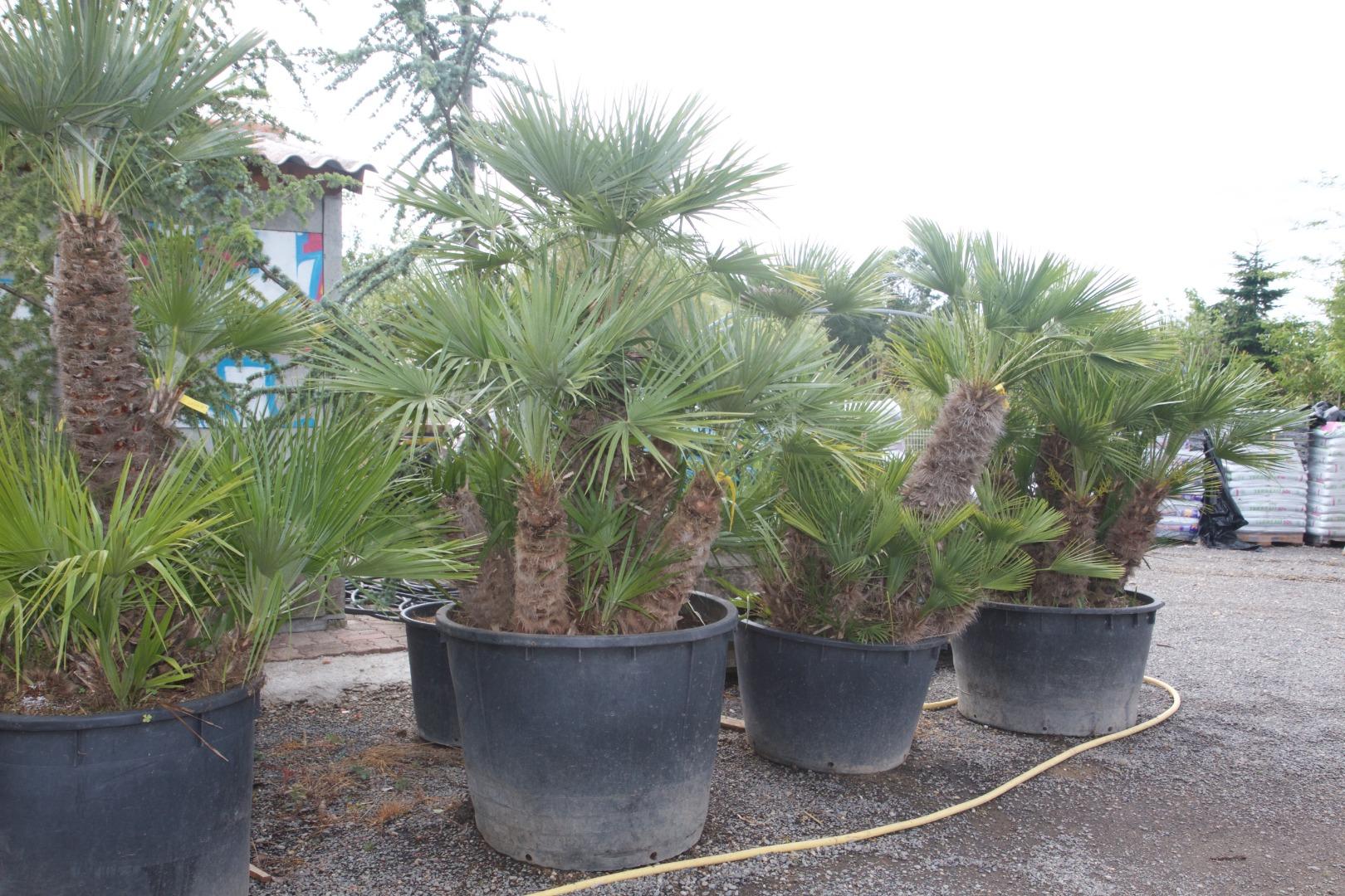 Jardi Vert : vente de palmiers à toulouse