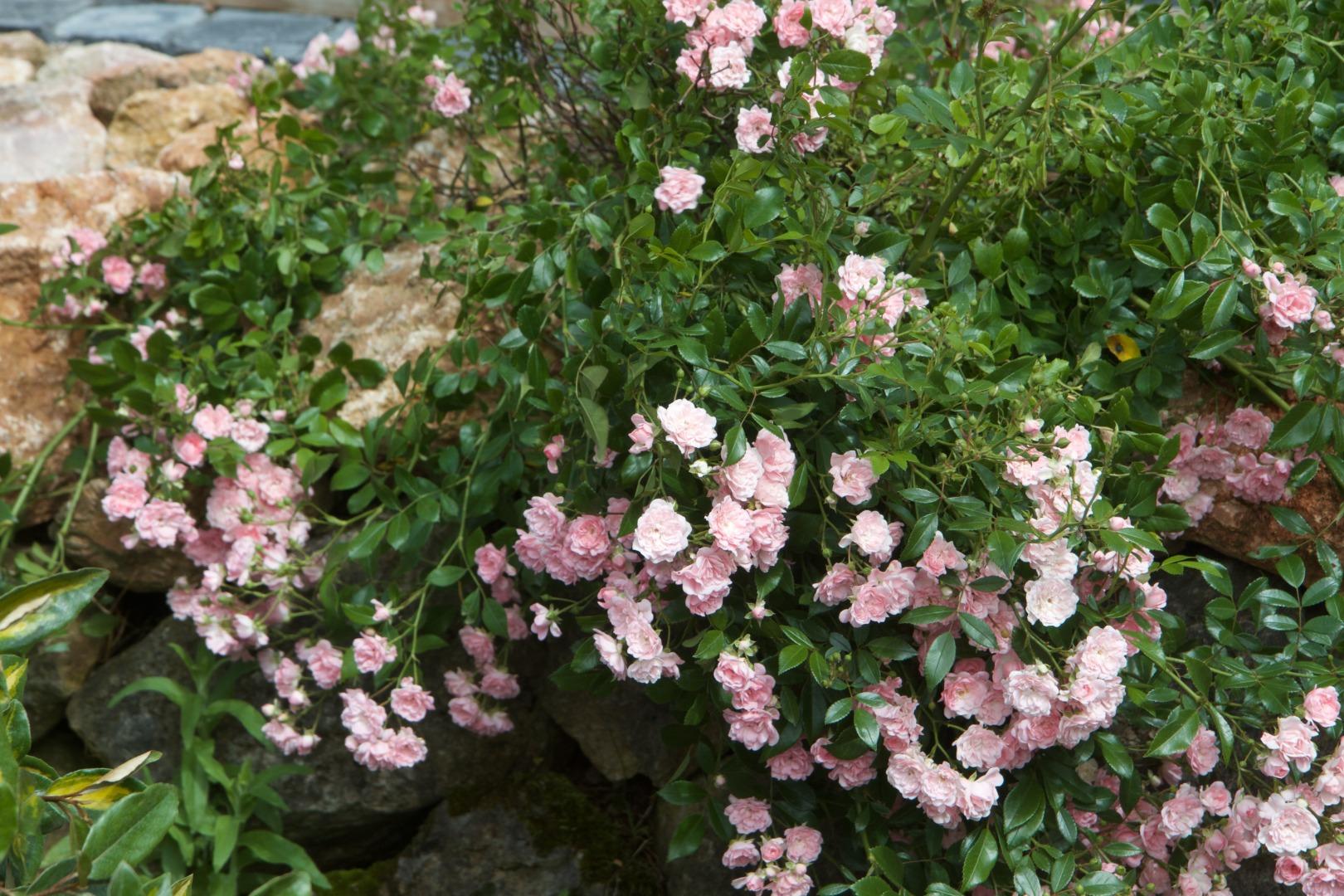 Jardi Vert : vente de rosier à toulouse