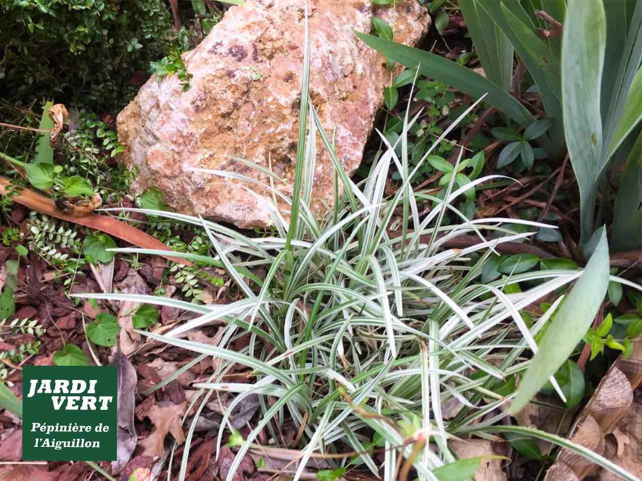 L'acorus ogon, la plante colorée et facile à vivre