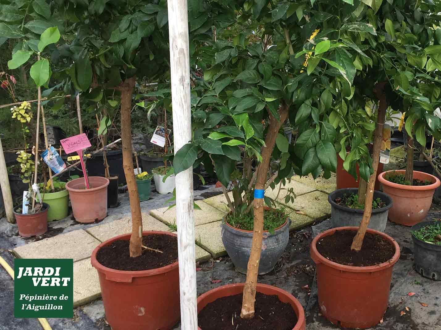 Vente d'arbres fruitiers et d'agrumes, citronniers, orangers... Jardinerie de l'Aiguillon Toulouse