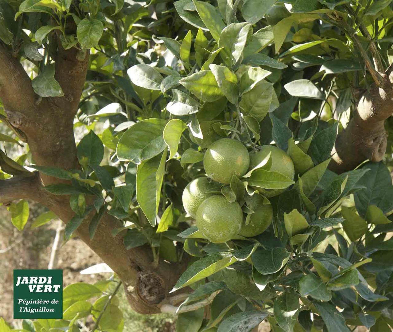 Acheter un citronnier ou un oranger à Toulouse - Jardinerie de l'Aiguillon