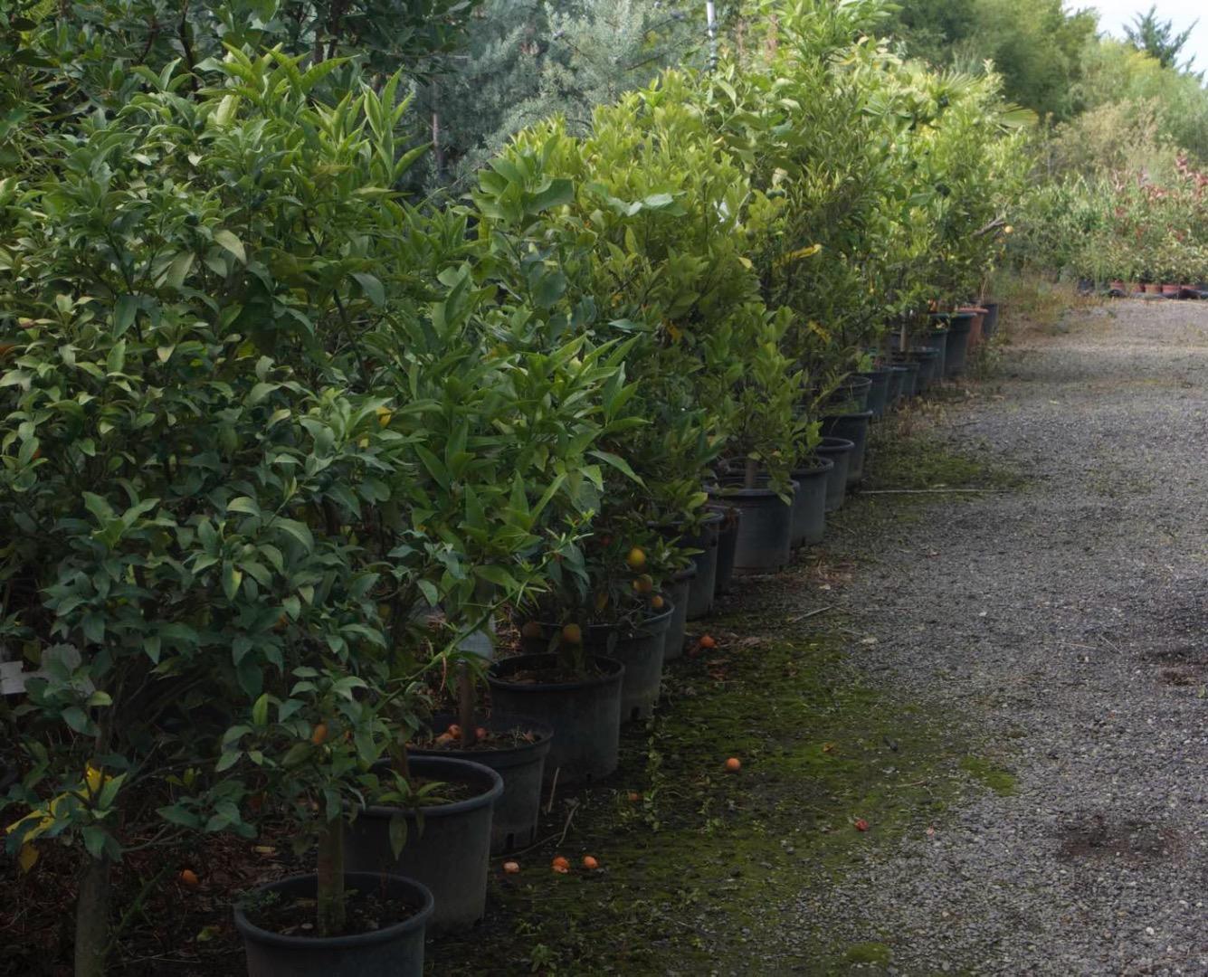 Vente de citronniers et d'agrumes à Toulouse - Jardinerie pépinière de l'Aiguillon