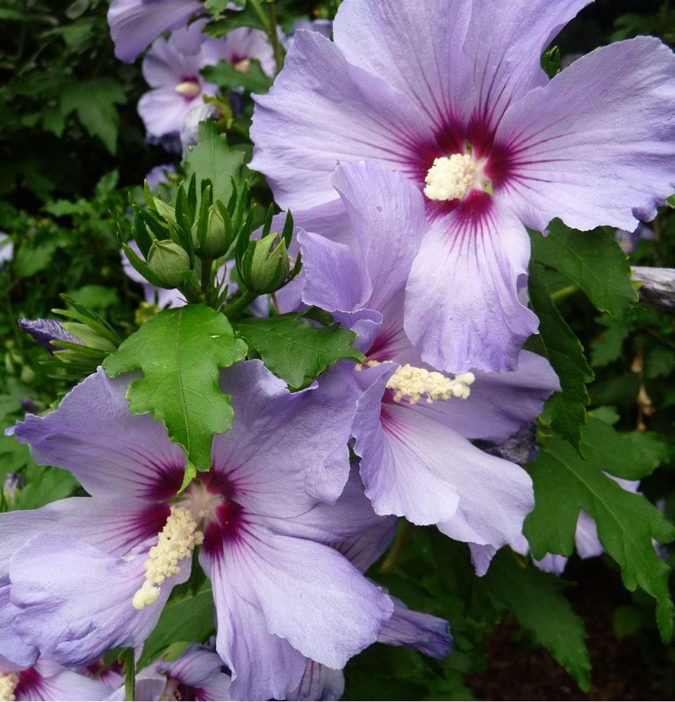 Althea ou hibiscus - Pépinière de l'Aiguillon Jardi Vert Toulouse
