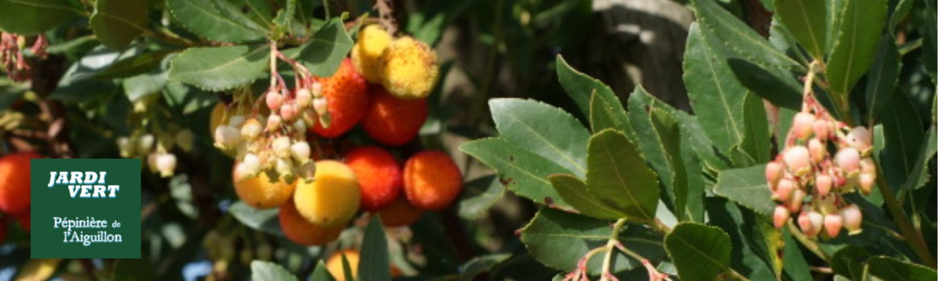 Vente de plantes à fruits arbousiers - Jardi Vert, pépinière de l'Aiguillon à Toulouse