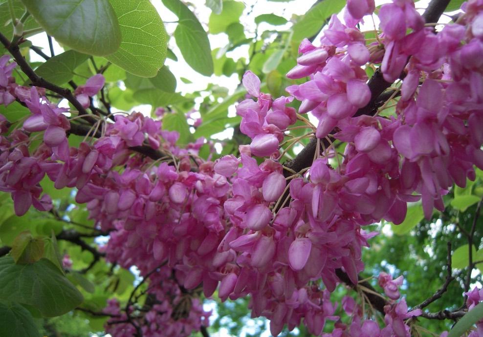 Vente d'arbre de Judée - Pépinière de l'Aiguillon producteur Toulouse