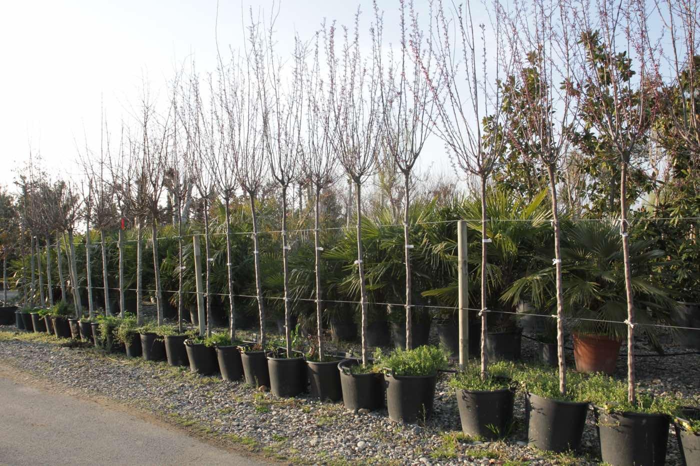 Grand choix d'arbres d'avenue en champs - Pépinière de l'Aiguillon producteur Toulouse