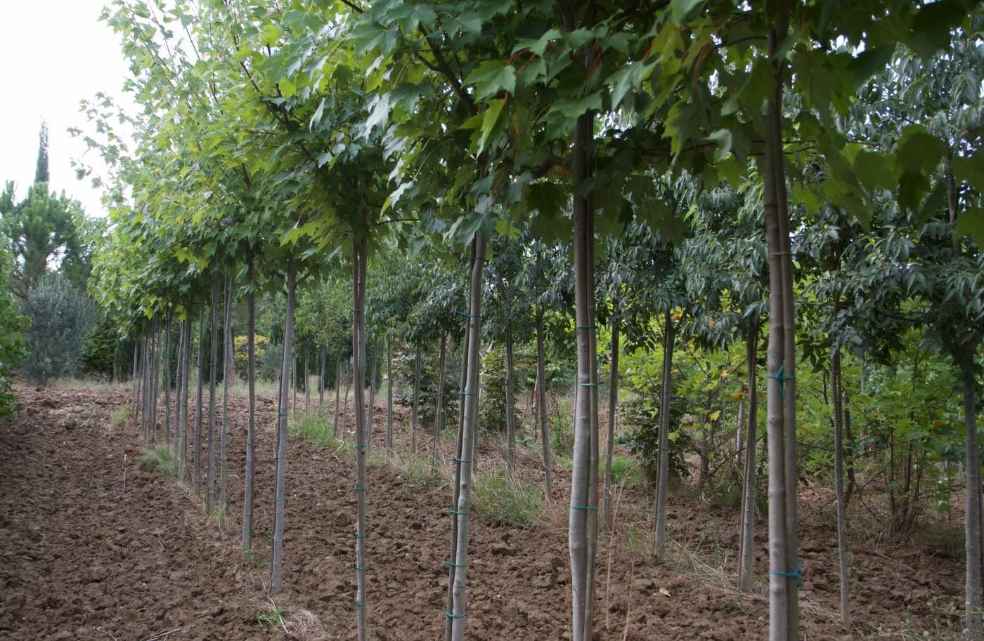 Vente de bouleaux grands et petits - Pépinière de l'Aiguillon producteur Toulouse