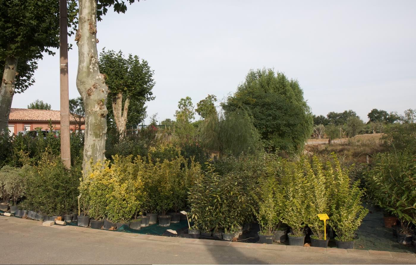Grand choix d'arbustes de haie - Pépinière de l'Aiguillon jardinerie à Toulouse