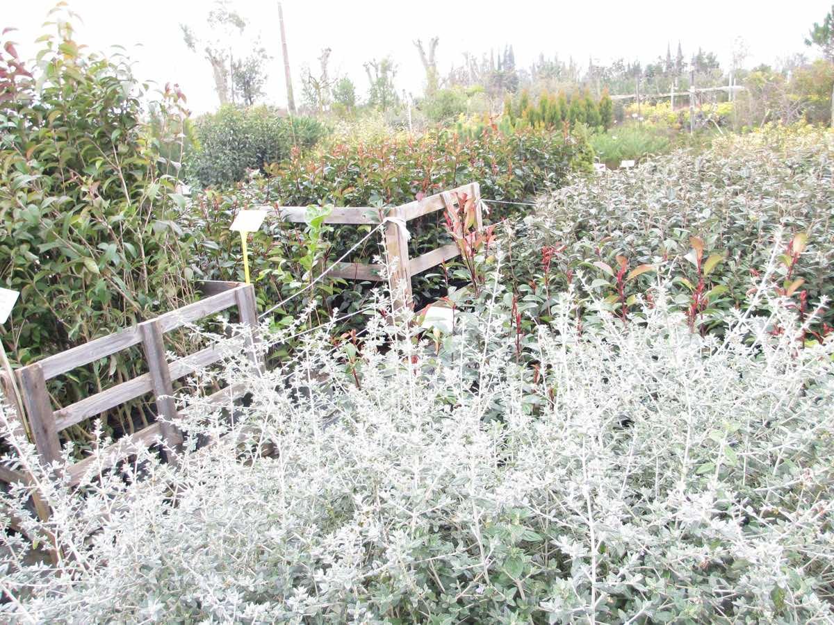 Vente de laurier tin ou viburnul tinus - Le buisson de haie persistant, fleuri et nécessitant peu de taille ! Pépinière de l'Aiguillon à Toulouse