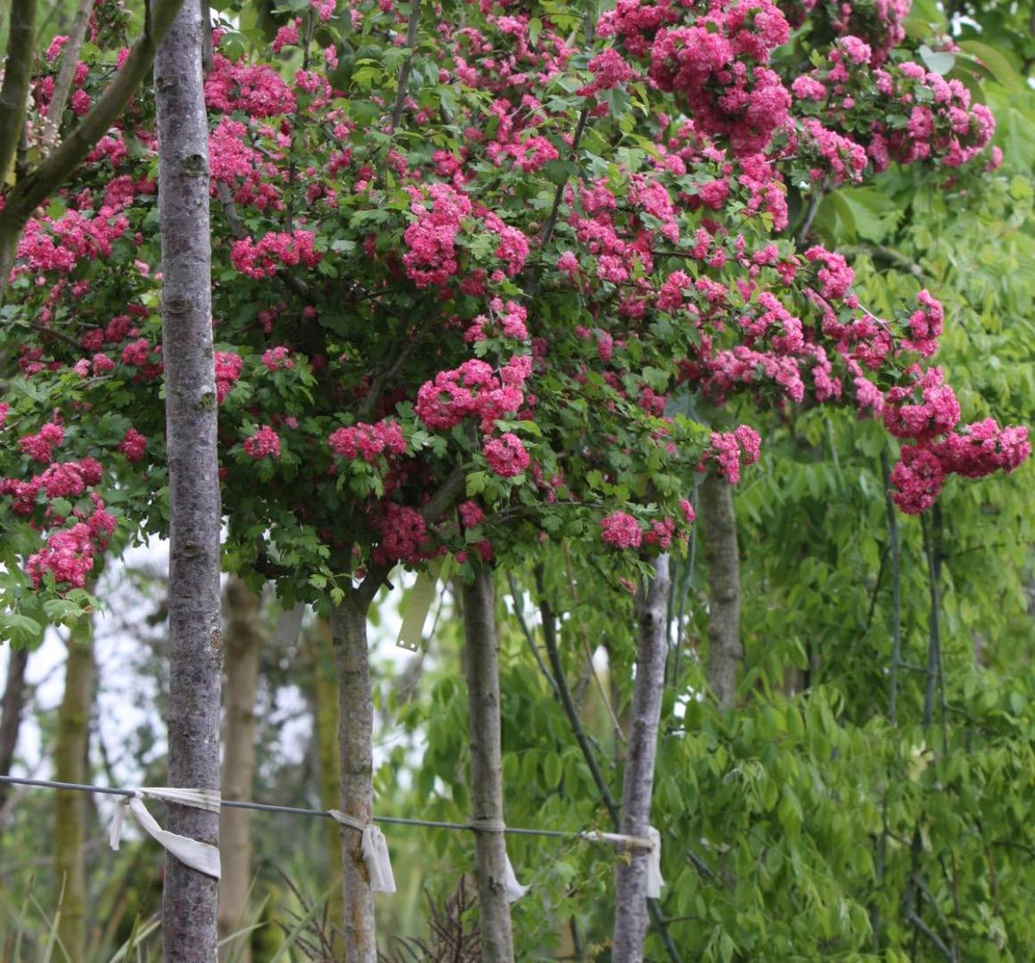 Vente d'aubépine à fleurs - Pépinière de l'Aiguillon producteur Toulouse