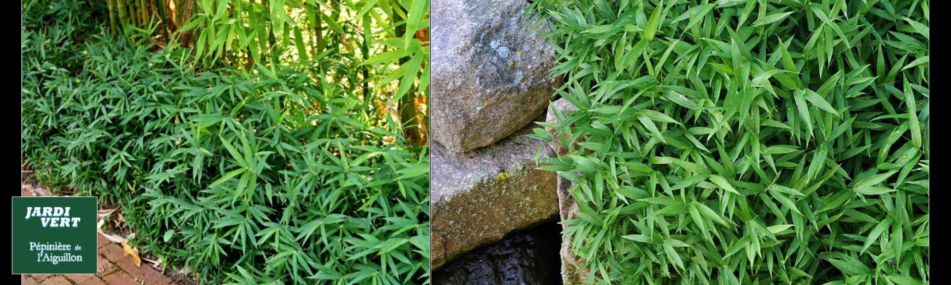 Bambou nain de rocaille - Pépinière de l'Aiguillon Toulouse