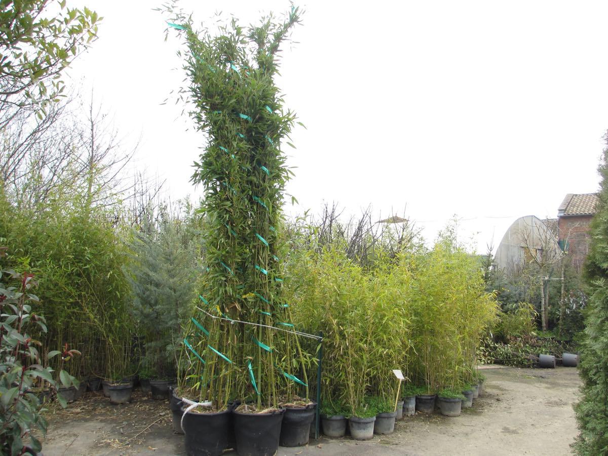 Bambous géants - Pépinière de l'Aiguillon Toulouse