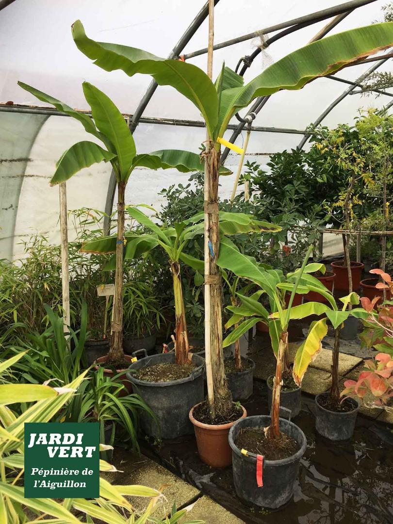 Vente de bananiers - Palmiers exotiques et resistants à Toulouse