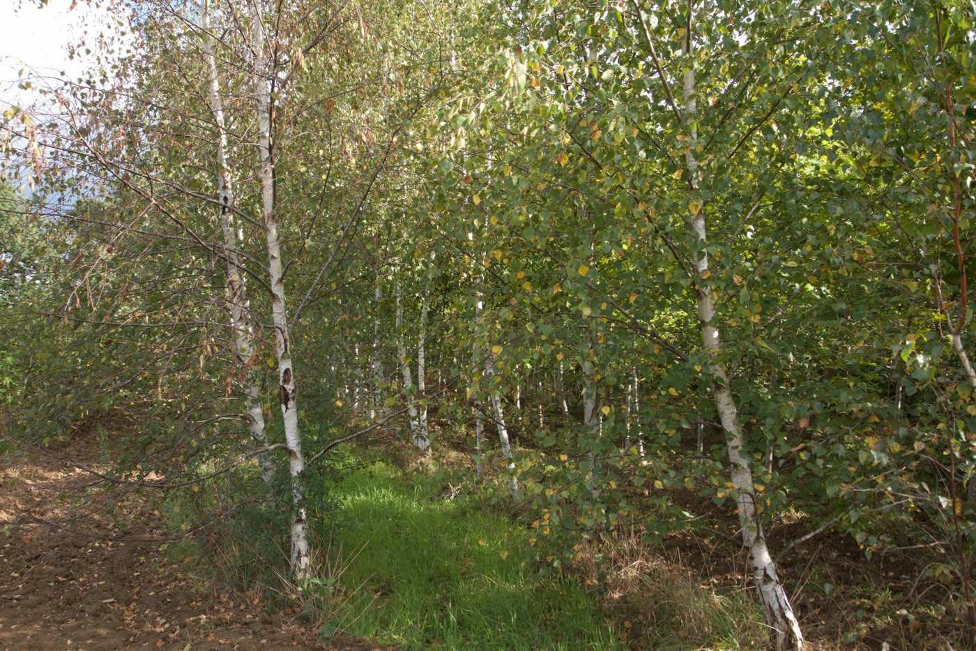 Vente et plantation d'erables de couleurs rouge jaunes - Pépinière de l'Aiguillon producteur Toulouse