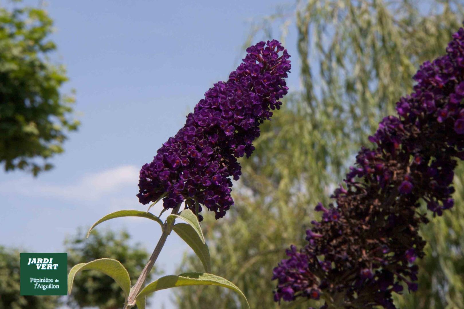 Arbre à papillons ou buddleia - Pépinière de l'Aiguillon Jardi Vert Toulouse