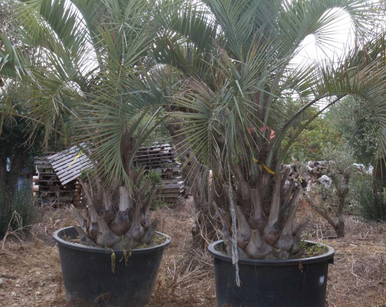 Vente de palmiers de producteur pour le jardin à Toulouse